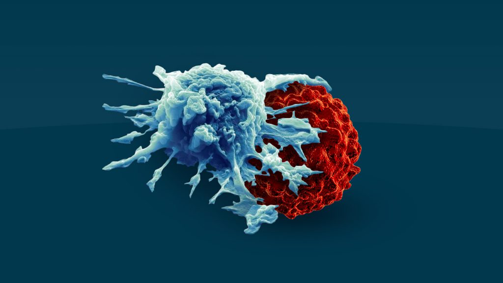 Macrophage engulfs tumor cell